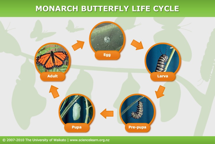 Monarch butterfly life cycle — Science Learning Hub