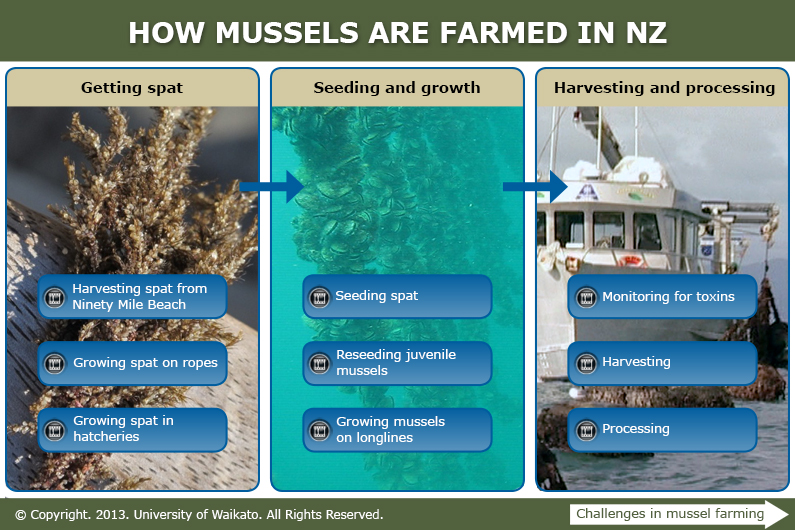 How mussels are farmed in New Zealand