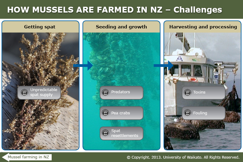 Challenges in mussel farming