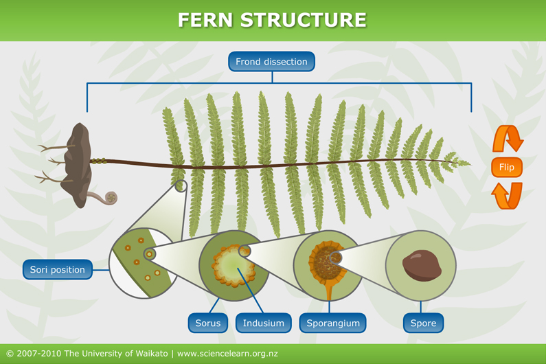 plant anatomy leaflet with 20 Underlay Of A Fern on Vocabulary in addition 6249 besides What Do Membranes Do besides KS2 3 resources likewise Stipule.