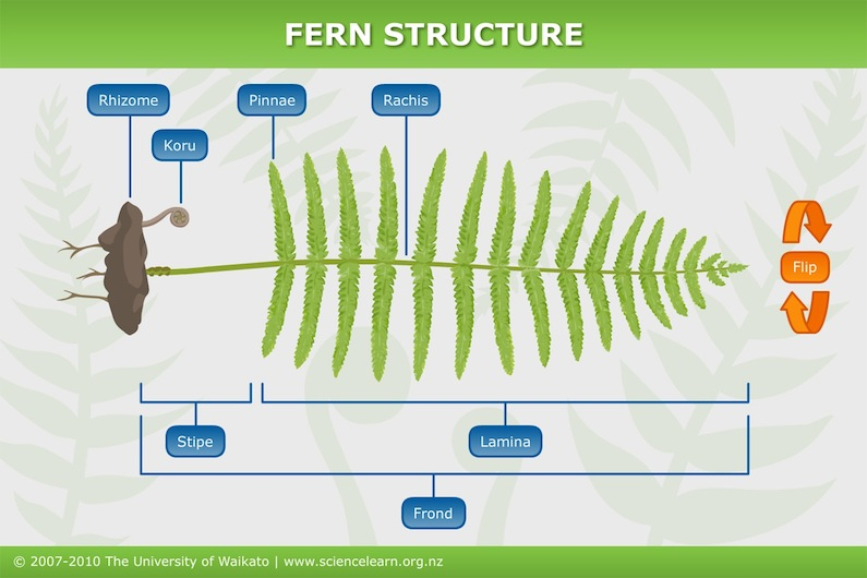 Fern structure — Science Learning Hub
