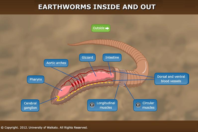 inside of an earthworm