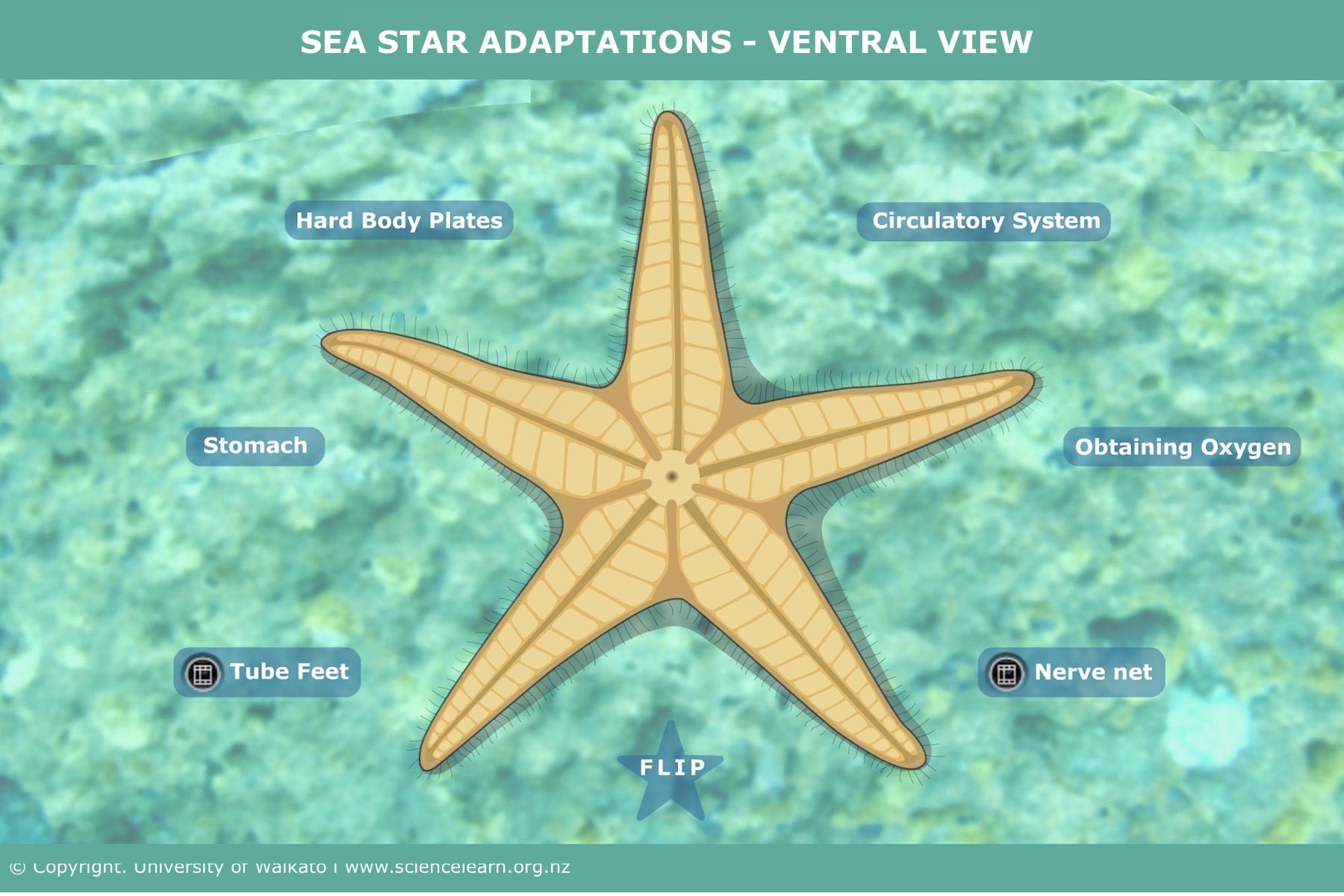 Sea star adaptations – ventral view — Science Learning Hub