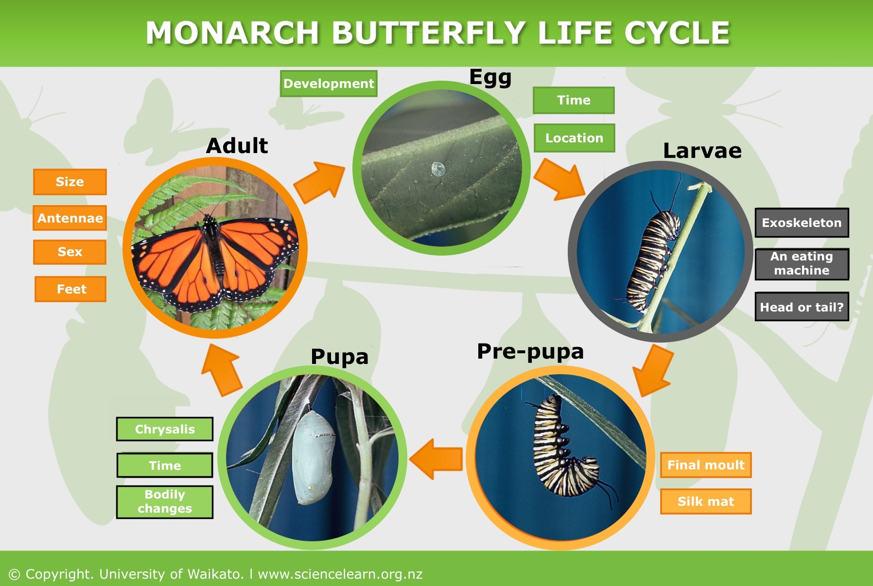 the life cycle of monarch butterflies Monarch watch is a cooperative network of students, teachers,  monarch biology monarch life cycle, natural populations, and monarch enemies rearing monarchs.