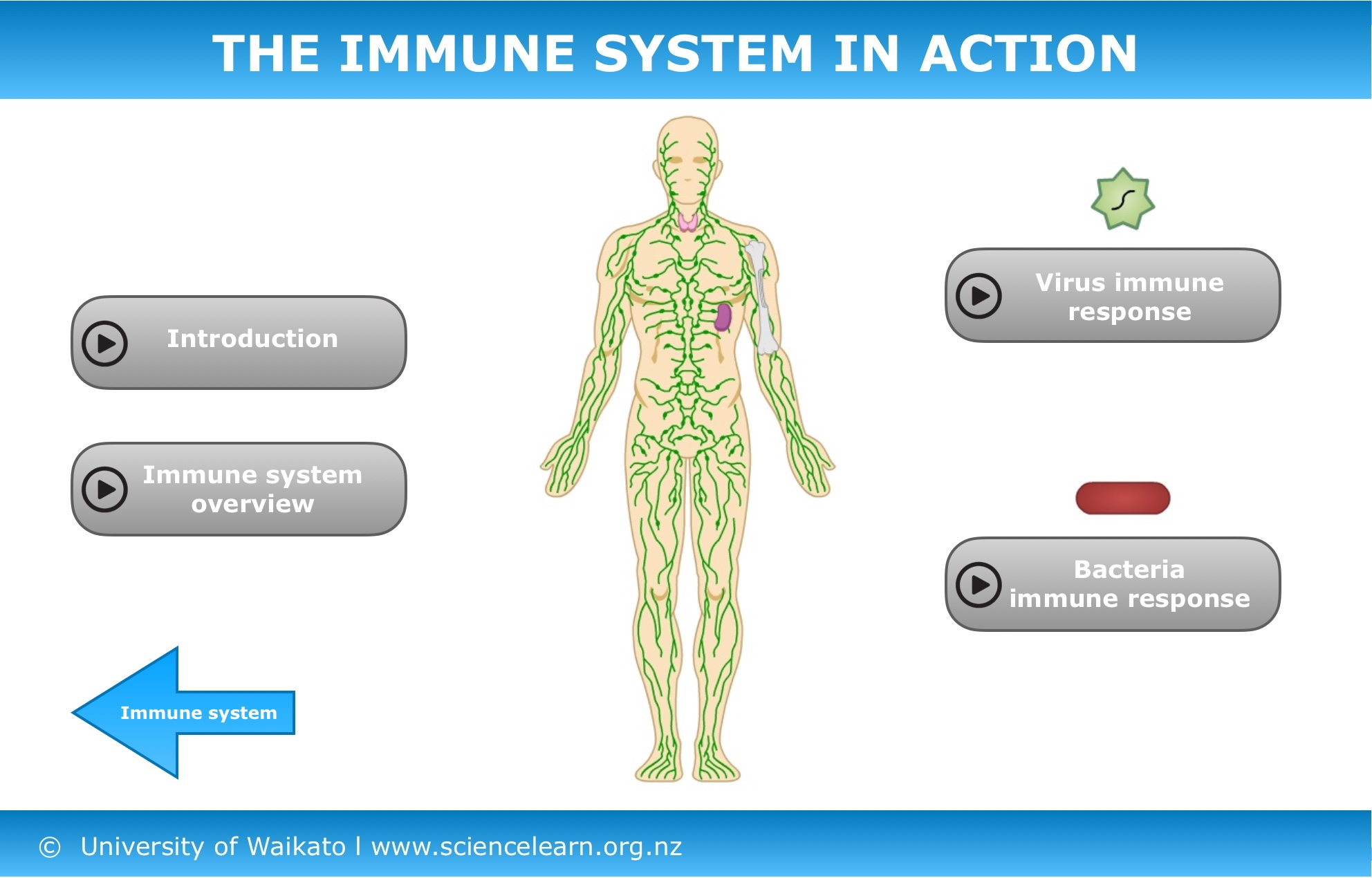 The Immune System In Action Science Learning Hub