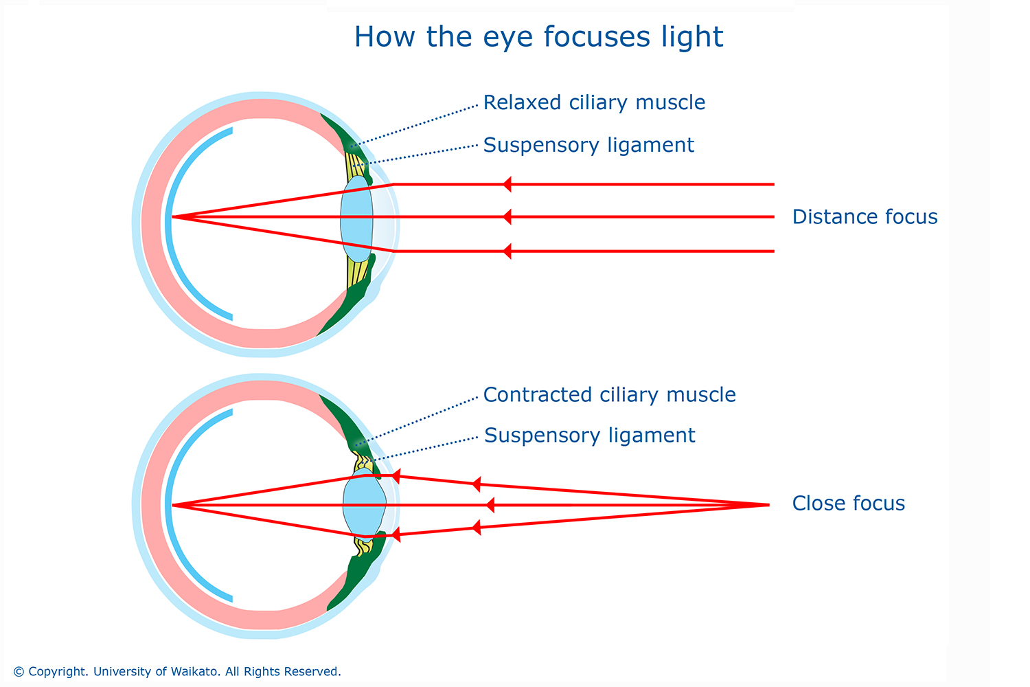 How the eye focuses light — Science Learning Hub