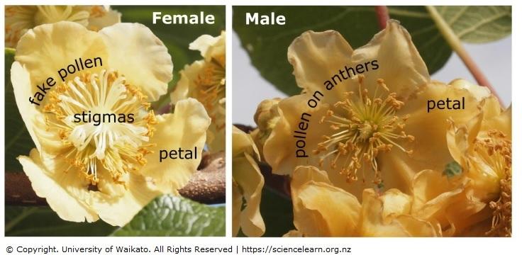 Pollinating Kiwifruit Science Learning Hub