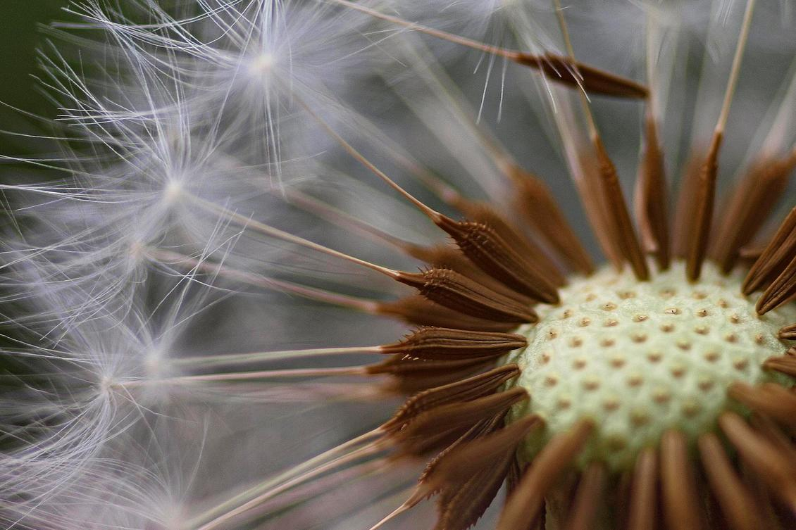 The 5-Second Trick For How Do Dandelion Seeds Travel