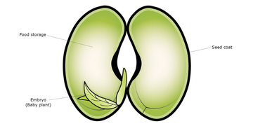 Bean seed embryo — Science Learning Hub