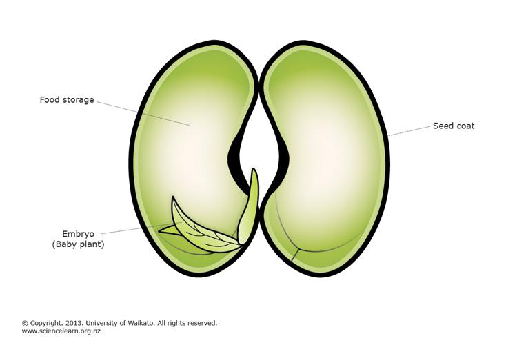 Bean seed embryo science learning hub bean seed embryo pooptronica