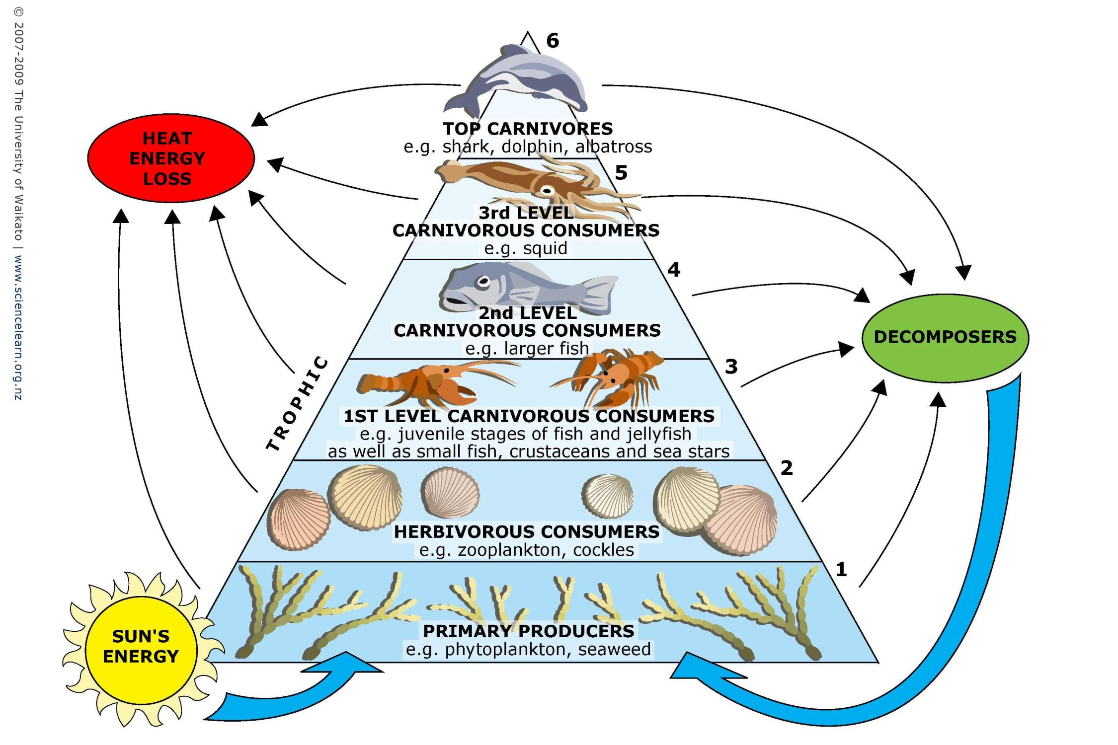 Marine food webs Science Learning Hub – Producers and Consumers Worksheets