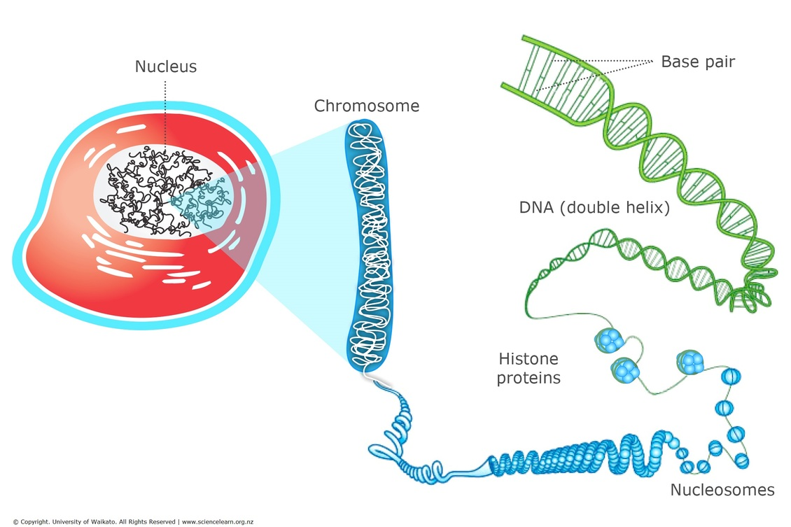 DNA, chromosomes and cells — Science Learning Hub