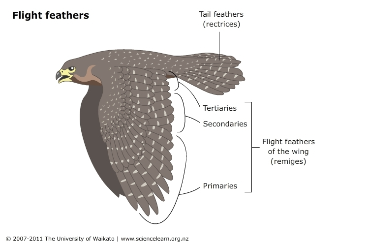 Feathers and flight — Science Learning Hub