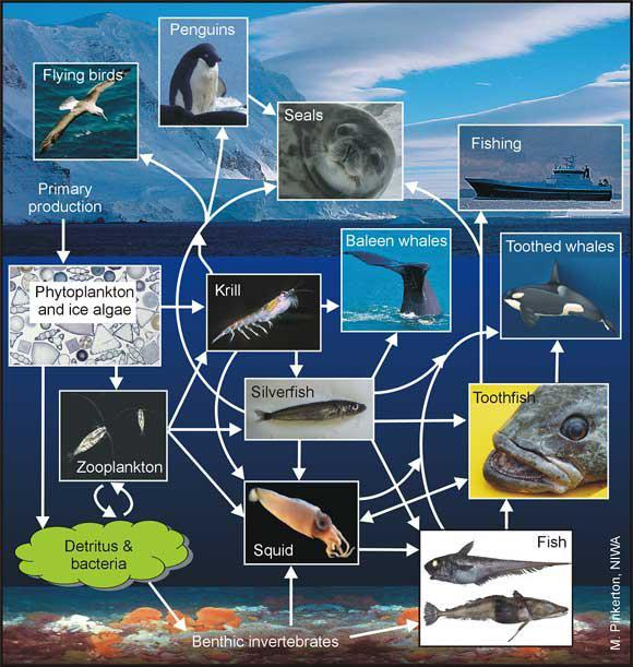 The Food Web In The Ross Sea  U2014 Science Learning Hub