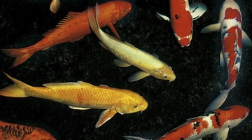 An Introduced Species Koi Carp Science Learning Hub