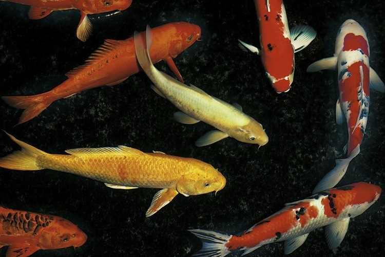 Japanese koi carp science learning hub for Ornamental pond fish types