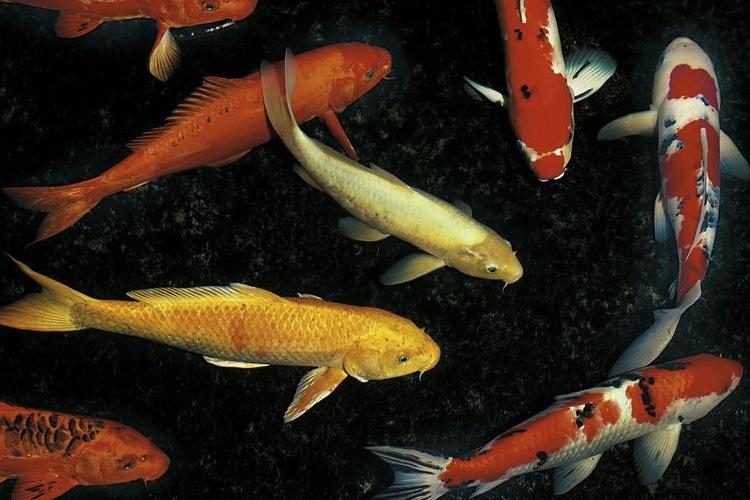An introduced species koi carp science learning hub for Japan koi wild