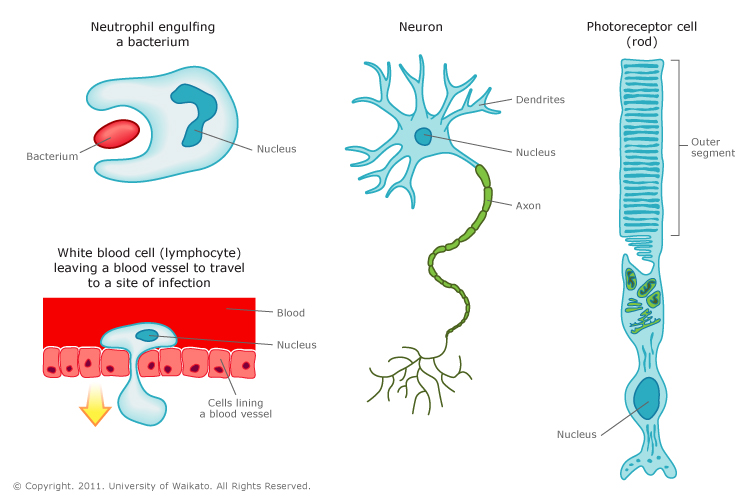 animal cells types and functions 2010-5-18 animal cells and tissues by michael j  major functions of each of the four major animal  types of animal tissues learn the types of cells.