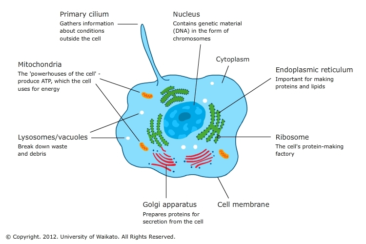 Cell organelles science learning hub cell organelles ccuart Images