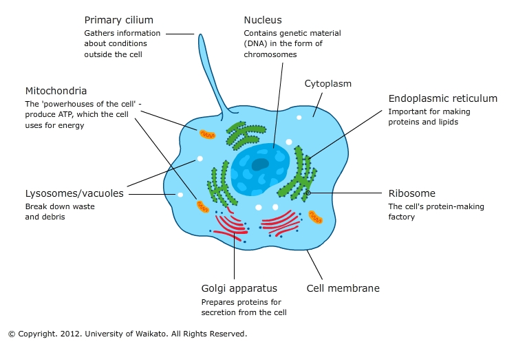 Core cell organelles — Science Learning Hub
