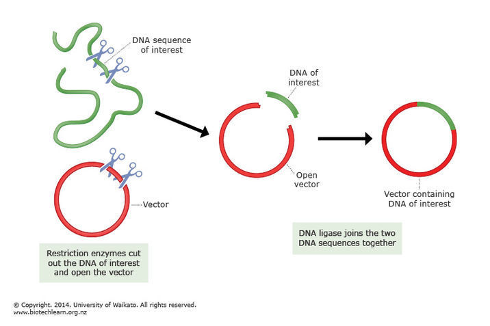 How to add foreign dna to bacteria science learning hub cloning dna ccuart Gallery