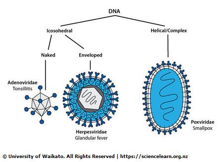 Viruses — Science Learning Hub