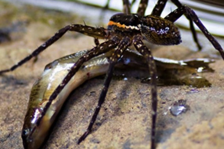 New Zealand S Fish Eating Spider Science Learning Hub