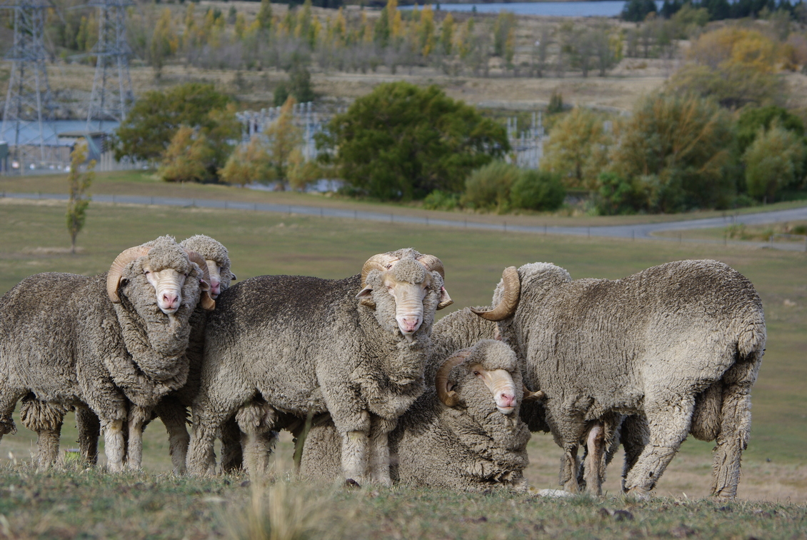 Traditional Merino sheep
