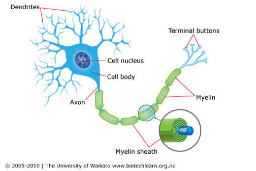 A nerve cell — Science Learning Hub