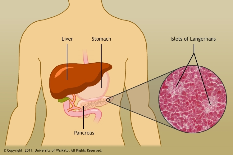 Diabetes And Pig Cell Transplants Science Learning Hub