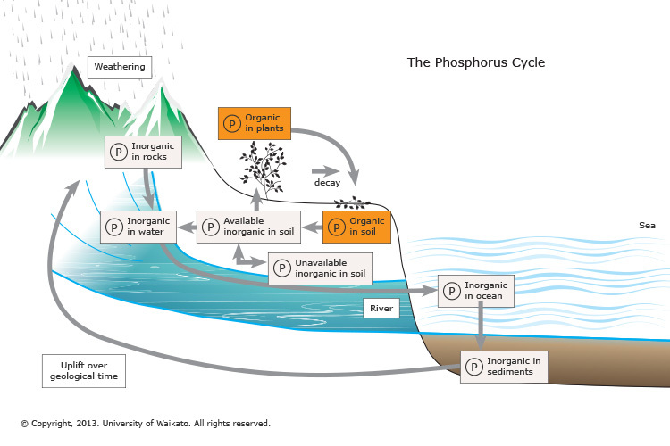 The phosphorus cycle science learning hub ccuart Choice Image