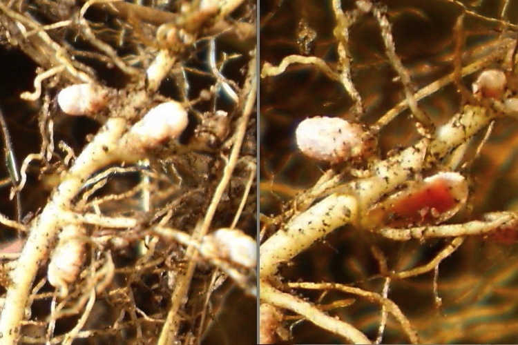 nodules on clover roots � science learning hub
