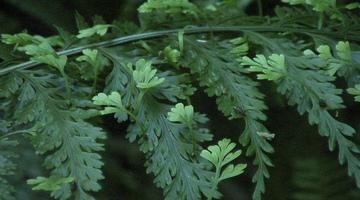 Asplenium bulbiferum asexual reproduction pictures
