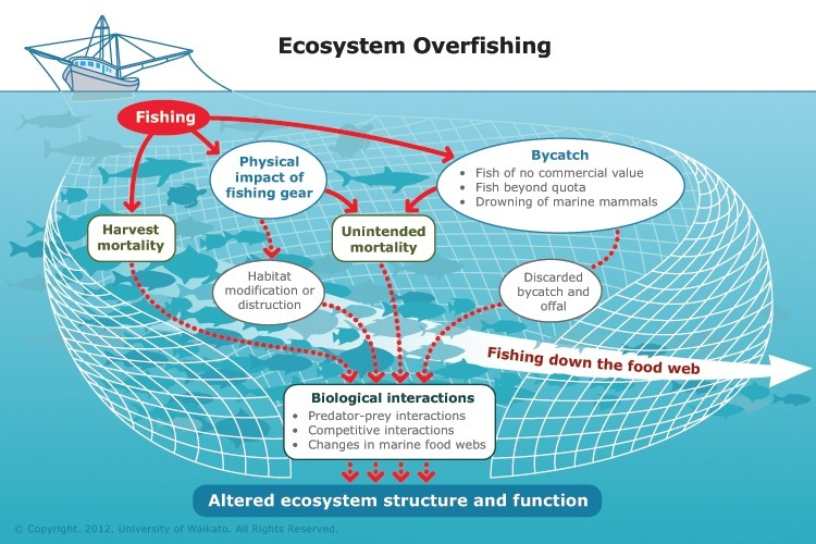 Ecosystem Overfishing V Mi P on Ocean Food Chain Diagram