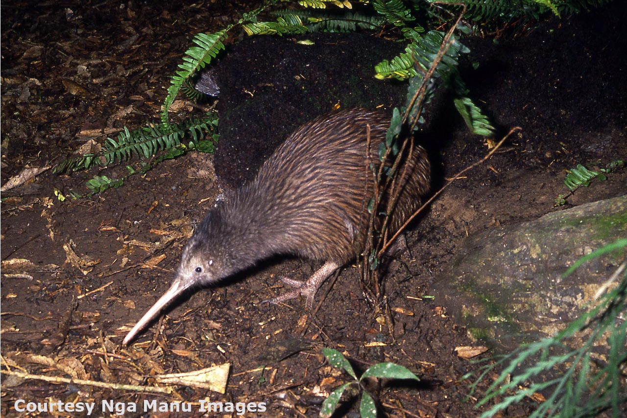 Kiwi Adaptations Science Learning Hub How To Build Nocturnal Animals Whisker