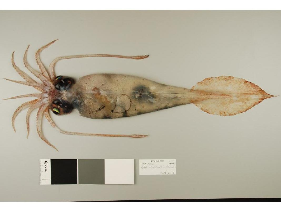 The glacial squid — ...