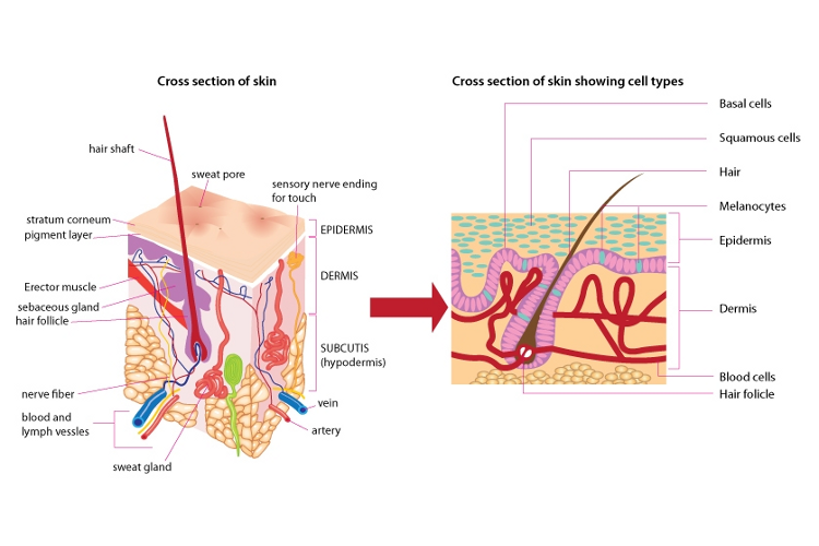 Skin structure — Science Learning Hub