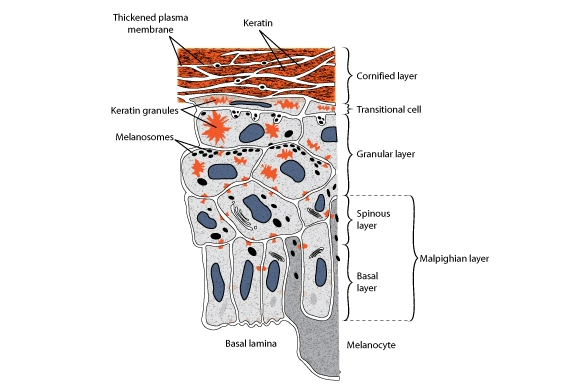 Skin Structure Science Learning Hub