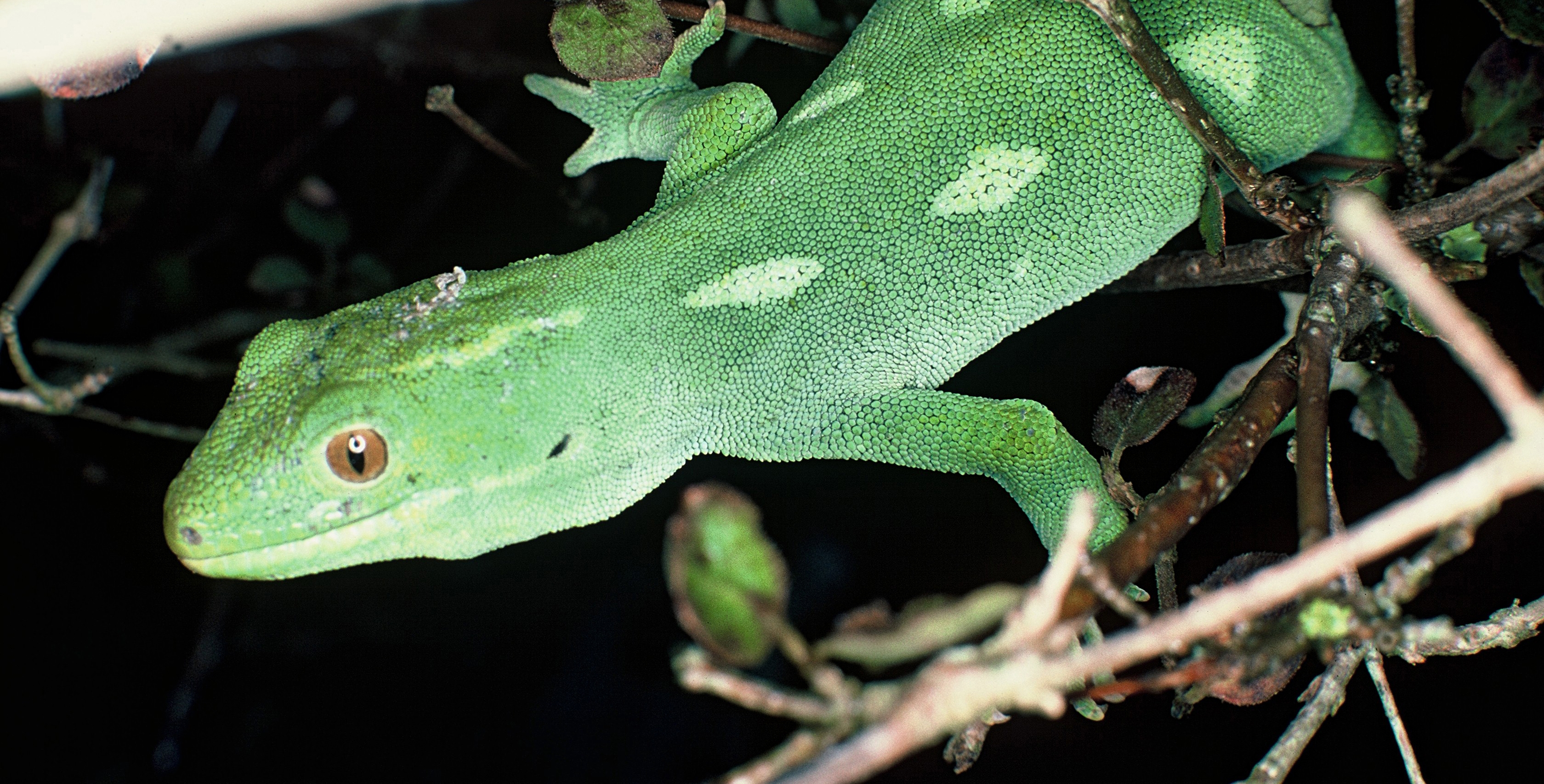 native skinks and geckos u2014 science learning hub