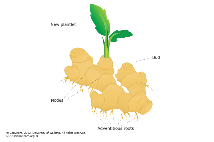 a definition of root systems in botany Botany 101: root systems the functions of roots are: to act as support for the stem to absorb and conduct water and nutrients from the soil and to store food.