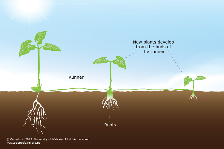 Vegetative Plant Propagation Science Learning Hub