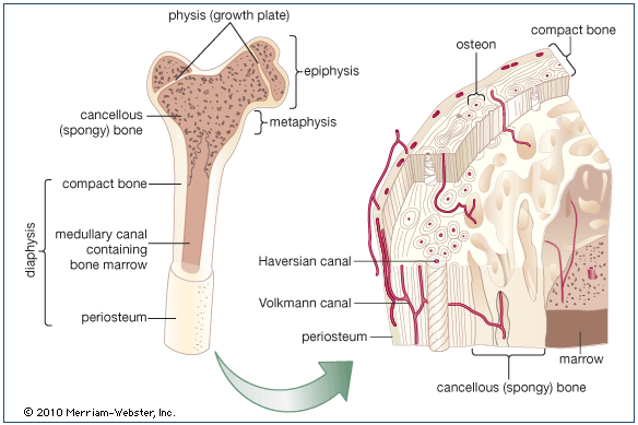 Human bone structure — Science Learning Hub