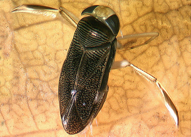 The water boatman (Corixidae: Sigara) is a macroinvertebrate.