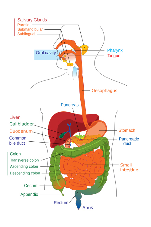 The Human Digestive System Science Learning Hub