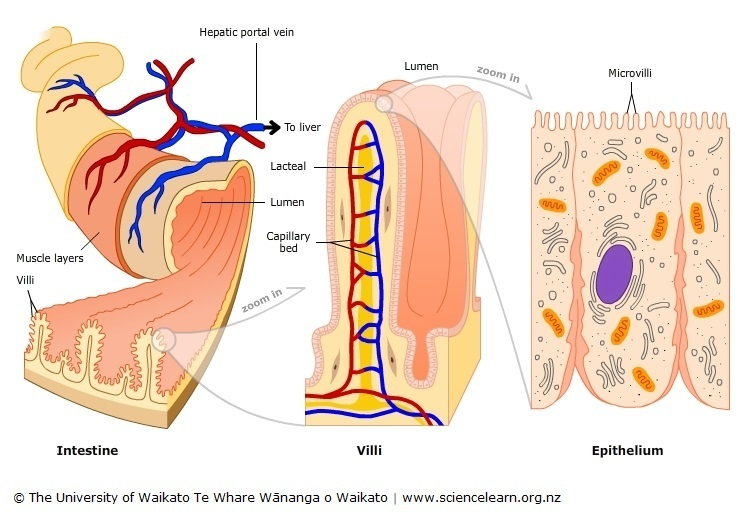 Villi in the small intestine — Science Learning Hub