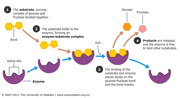 action of sucrase on sucrose — science learning hub cycle nitrogen cycle diagram to label #6