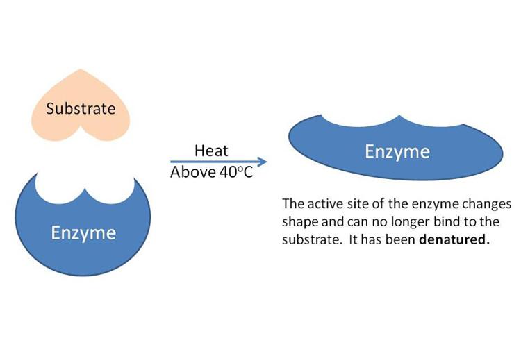 denatured enzyme \u2014 science learning hubDiagram Of Enzyme Temperature #13
