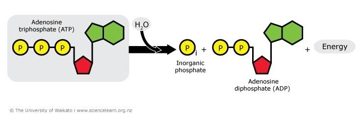 Unlocking ATP energy — Science...