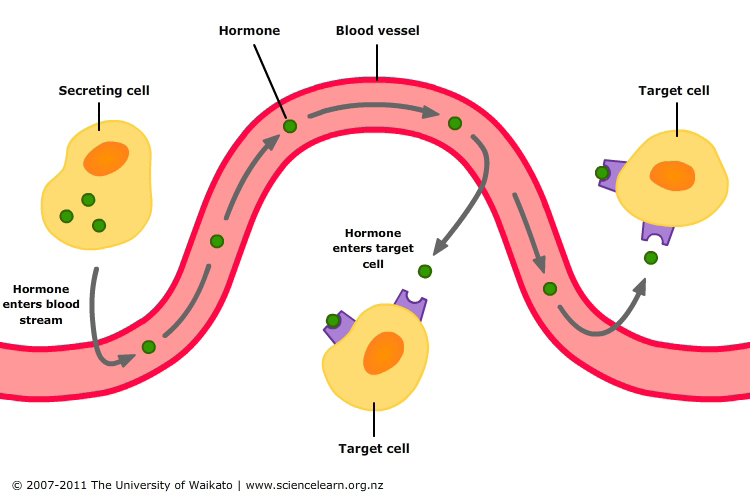 Hormonal control of digestion — Science Learning Hub