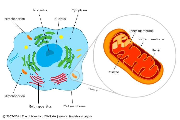 Cell Featuring Mitochondria Science Learning Hub